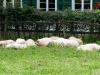 Pause - Museums-Schafe beim Mittagsschlaf