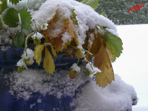 Sie gibt nicht auf - Erdbeere im Schnee
