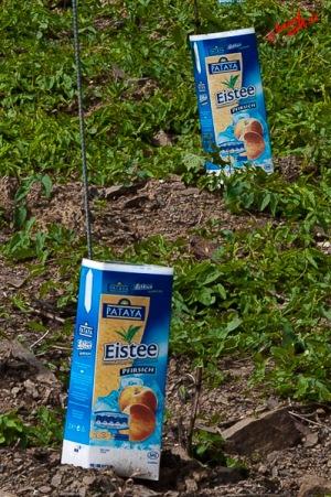 Eistee-Plantage