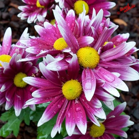 Margeriten - pink/weiß