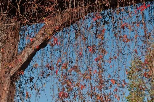Der Blättervorhang lichtet sich - Ranken in einem Torbogen in Kommern