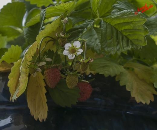 Eisbeeren  - Erdbeeren im November