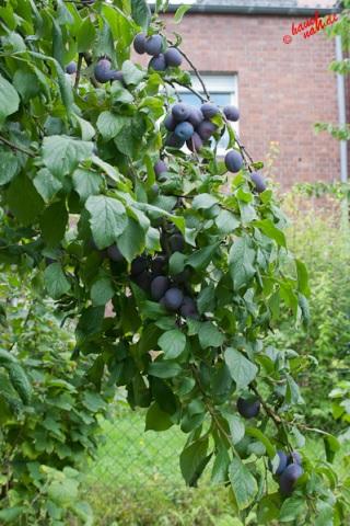 Pflaumenbaum - reiche Ernte
