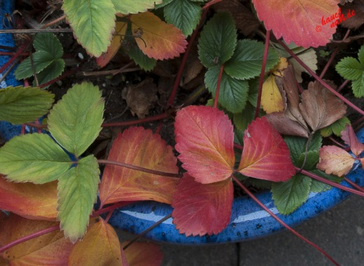 Rote Erdbeeren im November